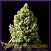Barneys Farm Critical Kush cannabis seeds Cheap UK Supplier
